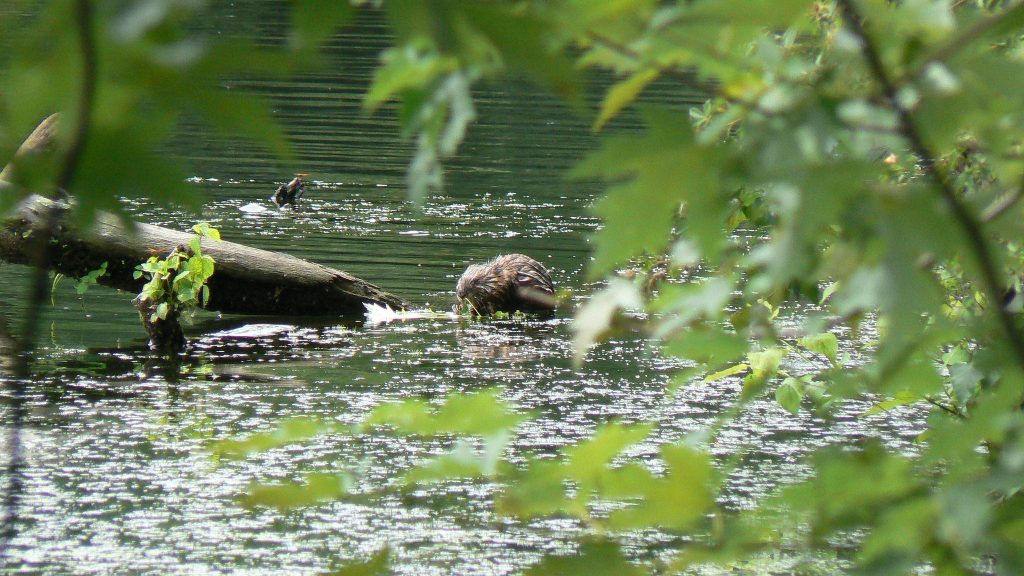 Muskrat on the Pawtuxet River; photo by Josh Wood