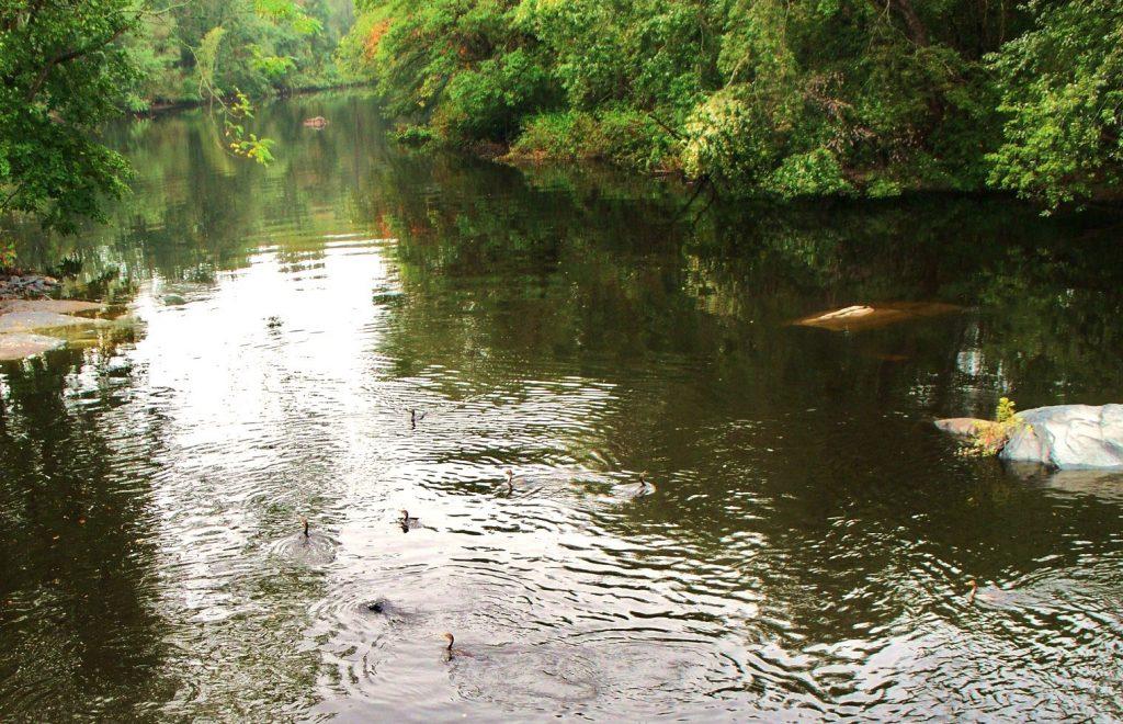 Cormorants up the Pawtuxet River; photo by Lynne Harrington